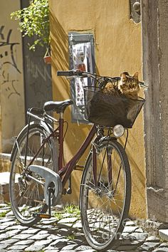 Tabby cat in a bicycle basket, Trastevere, Rome, Italy.
