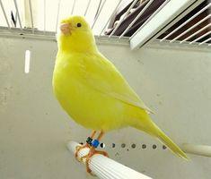 Pretty Birds, Love Birds, Beautiful Birds, Exotic Birds, Colorful Birds, Animals And Pets, Cute Animals, Canary Birds, Bird Aviary