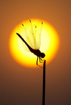 FIRE QUEEN Photo by Santanu Nag -- National Geographic Your Shot / dragonfly silhouette National Geographic Animals, National Geographic Photography, Wildlife Photography, Animal Photography, Amazing Photography, Animal Geographic, National Photography, Beautiful Creatures, Animals Beautiful