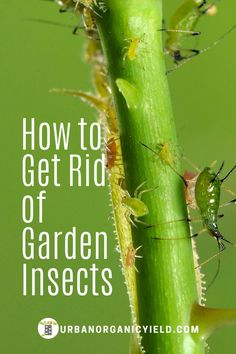 Tips and guides on how to get rid of insects that are infesting your garden. #GardenInsects #Gardening #UrbanOrganicYield