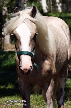 Silver - Harlow is a 2011 Gypsy Vanner filly. She is a DNA verified Boss granddaughter.  This filly is so elegant and magical looking.  She has outstanding movement and should make 15hh.  Harlow has been DNA confirmed silver gene carrier so if you are looking to add silver to your breeding program this is your girl!