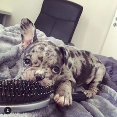 Casually chewing a hairbrush ❤️#frenchie#hairbrush#chew#cute#love