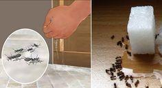 des remèdes naturels, pour se debarasser des fourmis