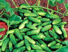 Cool cucumbers!