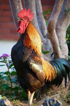 Big cock by 305931252 #animals #animal #pet #pets #animales #animallovers #photooftheday #amazing #picoftheday