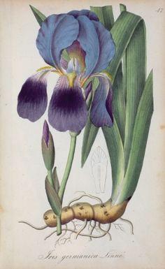 .Blue Iris