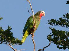 Cuban Parrot  (Amazona leucocephala) by Dominic Sherony.