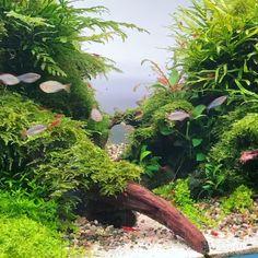 Aquarium Garden, Aquarium Landscape, Tropical Fish Aquarium, Nature Aquarium, Freshwater Aquarium Fish, Tropical Plants, Nano Tank, Goldfish, Marine Life