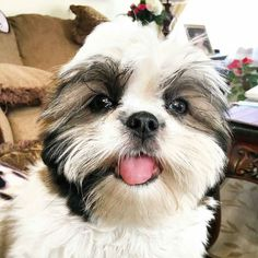 Follow us if you are Shih Tzu lover! To be featuredFollow usTag us #shihtzucorner Photo owner: @pawsofmarley by shihtzucorner