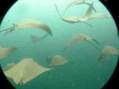 Galapagos Arraias