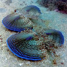 ------------------------- ------------------------- image source The flying gurnards are a family, Dactylopteridae, of marine fish notable for their greatly enlarged pectoral fins. As they cannot literally fly or glide in the air (like flying fish),. Underwater Creatures, Underwater Life, Ocean Creatures, Poisson Mandarin, Fauna Marina, Beautiful Sea Creatures, Life Under The Sea, Beneath The Sea, Water Animals