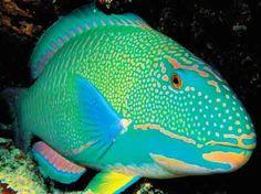 Parrot Fish – Misunderstood, or Miraculous Ocean Dwellers
