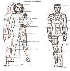 Human Anatomy Fundamentals Basic Body Proportions Vectortuts