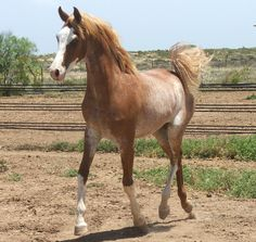 Red varnish Roan (or extensive Rabicano..)