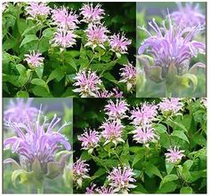 WILD BERGAMOT HERB Seed  Flower Seeds  by ALLooABOUTooSEEDS $2.00 Good for cold