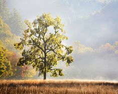 Tree Photography, Sunrise, Great Smoky Mountains National Park - Fine Art Print - Nature Photography, Oak, Autumn, Cataloochee Valley