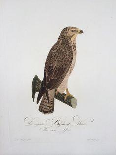 Der weißliche Bussard - Weibchen. Falco albidus. Gmel., J.C. Susemihl, Darmstadt 1805