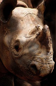 Rhinoceros -I love rhinos :) they're one of my favorite animals.