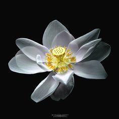 """ White Lotus "" by kunang kdev on Peonies, Tulips, Lotus Sutra, Lotus Pond, White Lotus, Unusual Flowers, Water Lilies, Dark Backgrounds, Beautiful World"