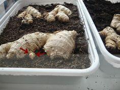 huis-tuin-en-keuken: C: Gember kweken en oogsten