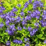 Veronica prostrata 'Trehane' (Prostrate speedwell 'Trehane') Click image to learn more, add to your lists and get care advice reminders each month.