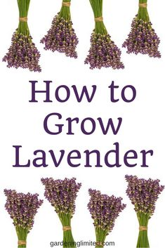 Would you love to grow lavender in your backyard? How about using lavender after its grown? Check out how to grow lavender and use it in this post! Growing Lavender, Organic Gardening, Types Of Herbs, Herbs, Herb Garden, Urban Garden, Creative Gardening, Container Gardening, Gardening Tips