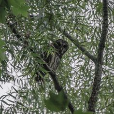 A huge barred owl was keepin' an eye on me this morning.