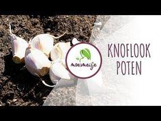 Zelf knoflook telen in je (moes)tuin of op je balkon: een simpel stappenplan - GRN United.nl Growing Veggies, Garden Inspiration, Garlic, Green, Plants, Food, Gardening, Balcony, Meal