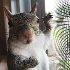 Natural disaster does not only affect human but also animal. Squirrel that usually lives in the wild may need to be rescued. In Louisiana, a squirrel was rescued after hurricanes hit the city. Squirrel Girl, Cute Squirrel, Squirrels, Raccoons, Hamsters, Rodents, Cute Baby Animals, Funny Animals, Wild Animals