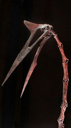 Quetzalcoatlus northropi is an azhdarchid pterosaur known from the Late Cretaceous of North America (Maastrichtian stage) and one of the l. Prehistoric Dinosaurs, Dinosaur Fossils, Dinosaur Art, Prehistoric Creatures, Dinosaur Skeleton, Dragon Skeleton, Fossil Hunting, Reptiles, Extinct Animals