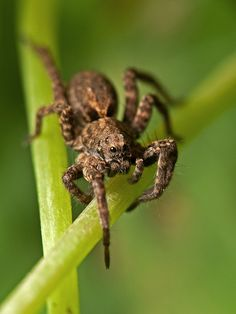 brown wolf spider