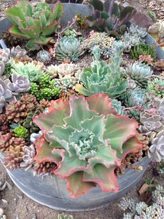 MIXED PLANTING OF SUCCULENTS IN A METAL VAT.