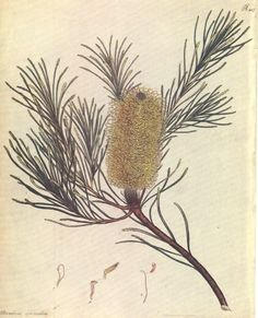 "Australian Banksia spinulosa. Banksia illustration by Henry Andrews Reproduction from a hand-coloured copperplate engraving by the English naturalist Henry Charles Andrews for ""The Botanist's Repository, comprising colour'd engravings of new and rare plants only"" published in London between 1797 and 1815. http://www.heritage-editions.com.au/p-2030-australian-banksia-spinulosa-banksia-illustration-by-henry-andrews.aspx"