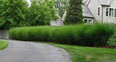 Znalezione obrazy dla zapytania trawa miskant gracillimus