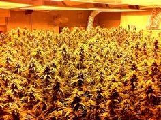 Why do cannabis plants need to be close to the grow lights? It is because indoor grow lights follow the inverse square law of light.