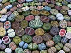 Even though Lithops can be grown by division of the adult plant, growing them from seed is economical and can be a rewarding experience...