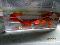 Swordtail Fish for Sale Online Swordtail Fish, Beautiful Tropical Fish, Live Aquarium Fish, Selective Breeding, Fish For Sale, Colorful Fish, Albino, Pairs, Red
