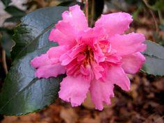Camellia x 'Winter's Darling'