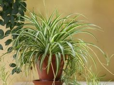 "Spider Plants  Easy to propagate as well as to care for, ""spider plants are like a gateway plant,"" says Dr. Mattson. Take a cutting, stick it into water, wait for roots, and then plant in soil—it's incredibly easy to have spider plants on every shelf that's remotely near a window in your home. #ecopin"