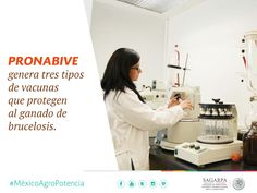 PRONABIVE genera tres tipos de vacunas que protegen al ganado de brucelosis. SAGARPA SAGARPAMX #MéxicoAgroPotencia