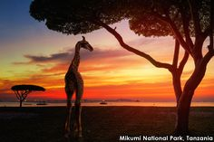 In Mikumi National Park, Tanzania beautiful sunsets are included.