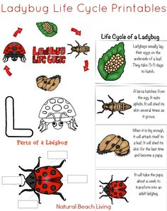 Awesome Ladybug Life Cycle Activities and Free Printables for kids, Natural lear. Kindergarten Science Activities, Bug Activities, Alphabet Activities, Kindergarten Worksheets, Science For Kids, Preschool Activities, Preschool Alphabet, Kindergarten Prep, Children Activities