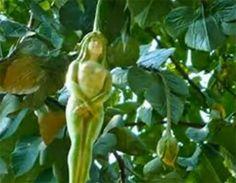 narilatha planta cu flori asemanatoare trupului femeii - descriere