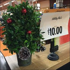 For only 10 bucks even you can give a Jolly Holly Holiday Mini to brighten anyone's Christmas. And you need not take hours hunting one up as this is one of the Seasonal plant offerings at Wegmans® ...