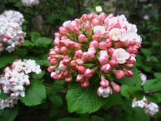 "Korean Spice Viburnum (Viburnum carlesii) - ""I love it in the early Spring--it has beautiful white flowers and a slight fragrance that you can smell when walking by. I love when we are sitting in our gazebo and we can smell it faintly in the air."" ~Kathleen N."