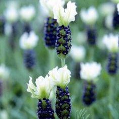 Lavender French Tiara Blue