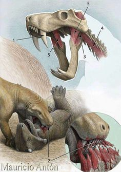 Lycaenos biting. Lycaenops, a genus of carnivorous therapsid, lived during the Permian, about 270.6-251 mya, in what is now South Africa. Lycaenops had a long and slender skull, with a set of dog-like fangs set into both its upper and lower jaws.[2] These pointed canine teeth were ideal for the use of stabbing and/or tearing at the flesh of any large prey that it came upon. Lycaenops most likely hunted small vertebrates such as reptiles and dicynodonts.
