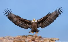 """Majestic!!! """"Doth the eagle mount up at thy command, and make her nest on high? She dwelleth and abideth on the rock, upon the crag of the rock, and the strong place."""" (Job 39:27-28 KJV)"""