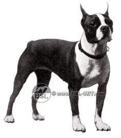 An interesting history of the Boston Terrier and its close relative the Olde Boston Bulldogge