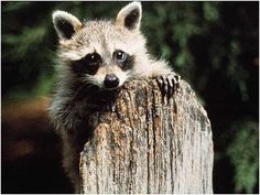 Animals That Look Like Raccoons